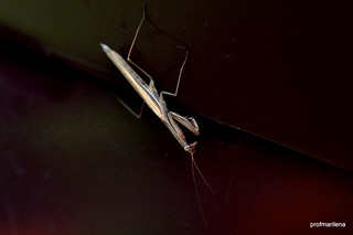 1-DSC_1402-001 male mantis on my door