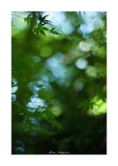 2018/8/15 - 3/3 END. photo by shin ikegami. - SONY ILCE‑7M2 / New Jupiter 3+ 1.5/50 L39/M (shin ikegami) Tags: 紅葉 macro マクロ sky 空 井の頭公園 吉祥寺 summer 夏 sony ilce7m2 sonyilce7m2 a7ii 50mm lomography lomoartlens newjupiter3 tokyo sonycamera photo photographer 単焦点 iso800 ndfilter light shadow 自然 nature 玉ボケ bokeh depthoffield naturephotography art photography japan earth asia