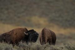 Snif... (Samuel Raison) Tags: yellowstone yellowstonenationalpark wildlife nature bison buffalo buffalos bisons nikkor nikon nikond800 nikon4600mmafsgvr nikontc17eii
