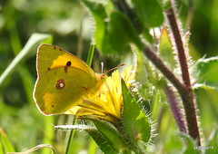 Southern slopes Clouded Yellow. (pete Thanks for 3 Million Views Many thanks to eve) Tags: hwcp bokeh butterfly canon macro moth rebel ruddy darter sympetrum sanguineum common wicked weasel colchestervt clouded yellow southern slopes nikon lumix