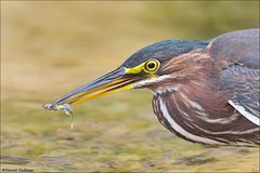 Hungry Green Heron (Daniel Cadieux) Tags: heron greenheron hunt hunter hunting ottawa ottawariver pond wetlands marsh feed feeding predator prey