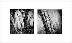 Corn Close Up 5, Near Irene, Illinois. (bob zdeb f.00010110) Tags: sonyfe90mmf28macrogoss illinois corn harvest farm agriculture