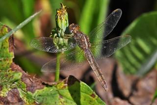 Orthétrum réticulé femelle - Orthetrum cancellatum - Black-tailed skimmer F.