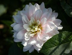 Dahlia (LuckyMeyer) Tags: flower fleur blume blüte sun light summer garden green white makro