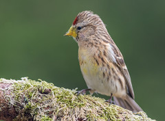DSC3916  Redpoll.. (jefflack Wildlife&Nature) Tags: lesserredpoll redpoll redpolls birds avian animal animals wildlife wildbirds woodlands wildlifephotography jefflackphotography hedgerows forest pineforest trees farmland finch finches songbirds gardenbirds nature