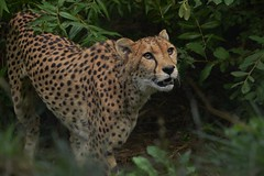 800_8229 (co lennings2011) Tags: cheetah acinonyxjubatus jachtluipaard