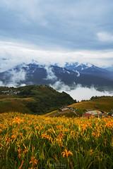 六十石山金針花 (Hong Yu Wang) Tags: sony a73 a7iii a7m3 1224g taiwan 六十石山 金針花 goldenneedleflower daylily