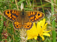 Large Wall Brown Butterfly (Lasiommata megera) (Brian Carruthers-Dublin-Eire) Tags: butterfly lasiommata megera lasiommatamegera wallbrown animalia arthropoda insecta lepidoptera nymphalidae lmegera outdoor bug insect animal creature nature wildlife