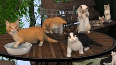 🎥 VIDEO Shortie Cats Gacha by Mutresse for The Arcade (Eeky Cioc) Tags: second life original mesh scripted animal pet