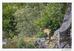 Les Chamois sont là. (C. OTTIE et J-Y KERMORVANT) Tags: nature animaux mammifères vosges chamois france