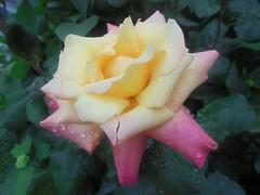 088 (en-ri) Tags: rosa giallo rose gocce sony sonysti macro foglie leaves