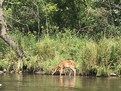 Fawn along the Kalamazoo River (Ogedn) Tags: wildlife kalamazoo michigan river drinking animal water deer fawn