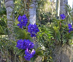 Tree Full (ACEZandEIGHTZ) Tags: trees orchids flowers vanda nikon d3200 pachara delight isabella coth5 sunray5