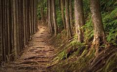 Kumano Kodo (CFpic) Tags: pilgrimage japan kumanokodo forest mountains tree cedar path