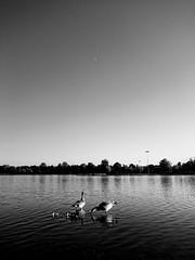 Family (BertMacFly) Tags: family bnw blackandwhite bw sony xperia g8341 monochrome lake sunset duck goose trees nature shadows sky