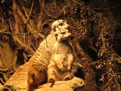 meerkat (Pandur55) Tags: animal zoo ixus170