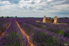 Campi di lavanda in Provenza (Gianluca Vannicelli) Tags: nikon landscape landscapephotography nikond4 provenza campi lavanda valensole profumo rudere