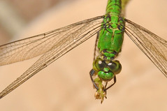 she only has eyes for me (christiaan_25) Tags: easternpondhawk erythemissimplicicollis dragonfly female odonata libellulidae insect eyes wings perched green macro staring watching nature