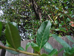 DSCF4917 (classroomcamera) Tags: foreground background leaf leaves ivy vine vines tree trees fence fences wood woods wooden texture wax waxy vein veins veiny grow grows growing growth bark limb limbs
