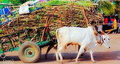 don't worry! we can lift ! (kiranshyapeti) Tags: sugar bullock bullockcart sugarcane sugarfactory ox kiransphotography india karnataka village kiranshyapeti