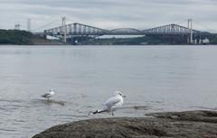 Goélands - Gulls  - Ponts Laporte et de Québec, Canada - 6868 (rivai56) Tags: québec canada ca goélands pontslaporteetdequébec pont bridge gulls front quebec bridges