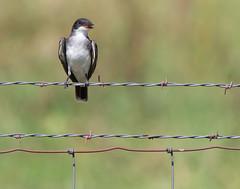 "Eastern Kingbird (dshoning) Tags: birdfence""easternkingbird""countryiowa"