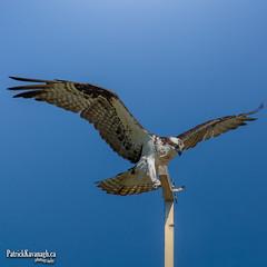 Sky Dance (Pat Kavanagh) Tags: osprey raptor flight alberta canada taber