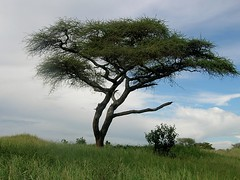 All Things African (The Spirit of the World ( On and Off)) Tags: tree nature acacia greenseason tanzania eastafrica africa landscape africanscene clouds sky hillside
