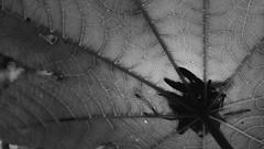 Lines (Ojo de Piedra) Tags: plants shapes blackwhite moody fujifilm fujixseries shadows monochrome xt10 darknature dark xf1855mm lowkey darkness nature flora closeup