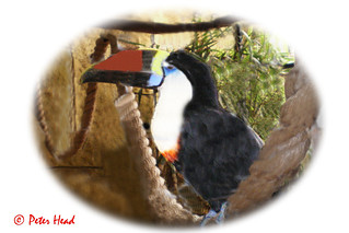 Amazon World - toucan 1-1