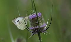 Accessibilità (lincerosso) Tags: farfalle butterflies pieridi pierismanni fiori cardodeilanaioli dipsacusfullonum flowers estate boscodisanmarco santamariadicampagna bellezza armonia accessibilitàecologia