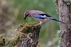 9Q6A2983 (2) (Alinbidford) Tags: alancurtis brandonmarsh jay nature wildbirds wildlife