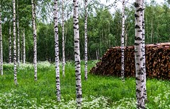 Koivuja (nousku) Tags: mmp suomi finland sysmä landscapes flowerstrees tamron