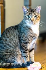 Javacatscafe08Sep20180449.jpg (fredstrobel) Tags: javacafecats javacatscafe atlanta places animals ga pets cats usa georgia unitedstates us