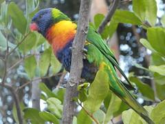 Rainbow Lorikeet (Diepflingerbahn) Tags: rainbowlorikeet trichoglossus haematodus huskisson jervisbay newsouthwales