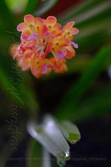 X01T2052 (kingston Tam) Tags: painterlyfeel helios442 258 orchid ornamentals flowers fujifilmxt1 manuallens colors oldlens bokeh brightcolors m42 watercolorpainting