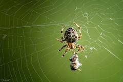 In My Web (59roadking - Jim Johnston) Tags: ifttt 500px spiderweb opponent garden spider net web arachnid prey
