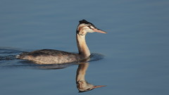 Great Crested Grebe juvenile (Hammerchewer) Tags: greatcrestedgrebe bird waterfowl juvenile wildlife outdoor