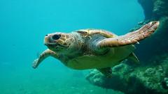 Squizz (An Arzhig) Tags: réunion island tortue turtle bleu blue nature wild ocean sea panasonic lumix gx800