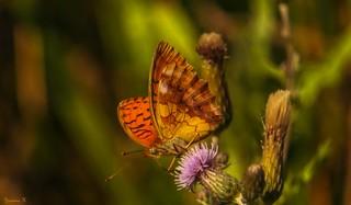 Butterfly - 5833
