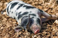 Piglet lying down (Tambako the Jaguar) Tags: turopolje pig black white young piglet lying cute funny portrait sunny zürich zoo switzerland nikon d850