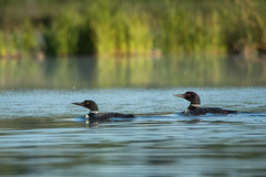 Common Loon Pair (NicoleW0000) Tags: loon commonloon bird waterfowl nature wildlife lake ontario reflection outdoors august morning