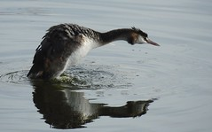 Great crested grebe (PhotoLoonie) Tags: grebe greatcrestedgrebe waterbird bird wildlife nature