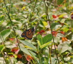 Another monarch (DCHall) Tags: ontario norwoodmillpondforesttrail norwood butterfly monarch canon 40d eos canon40d