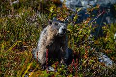 Hoary Marmot. (marcella.cavelli) Tags: canada britishcolumbia alberta squamish whistler banff jasper clearwater sky falls tree hike hiking trail trip snow lake wood ab bc
