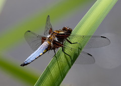 Broad-bodied-Chaser20107 (bcmp49) Tags: odonata dragonflies damselflies bds staffordshire