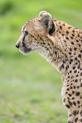 Cheetah profile (Tambako the Jaguar) Tags: cheetah big wild cat profile portrait face standing posing grass attentive calm kinderzoo zoo knie rapperswil switzerland nikon d5