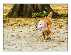 Autumnal dog (Photography And All That) Tags: autumn autumncolours autumnal dog dogs tree trunk grass ground leaf leaves tongue park parks daytime daylight day whitephotoborder sony sonyalpha7mark3 sonyilce7m3 sonyalpha ilce7m3 colour colours fall