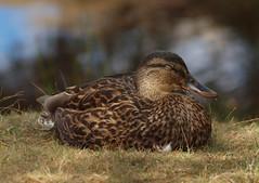 2018_08_0071 (petermit2) Tags: mallard duck slipperystones howden derwent peakdistrict derbyshire