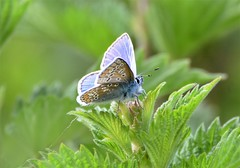 Just a little Blue. (pstone646) Tags: butterfly nature insect animal wildlife blue green bokeh fauna flora kent